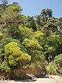 Ligustrum lucidum W.T.Aiton (AM AK289263-1).jpg