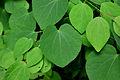 Lilienfeld - Naturdenkmal LF-021 - Parkanlage im Stift Lilienfeld - 14 - Blätter des Katsurabaums (Cercidiphyllum japonicum).jpg