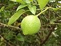 Limon de Nazareth - panoramio.jpg