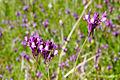 Linaria canadensis02.jpg