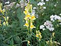 Linaria vulgaris.jpeg
