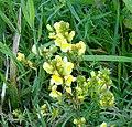 Linaria vulgaris Mill. + Raupe von Calophasia platyptera Esp. (Lepidoptera) (7616839366).jpg