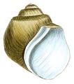 Lithoglyphus apertus shell.png
