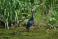 Little Blue Heron (33931447213).jpg