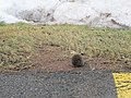 Little Vole looking for food near my place (32300910753).jpg