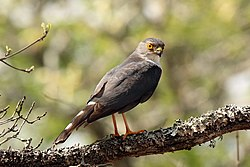 Little sparrowhawk (Accipiter minullus) 03.jpg