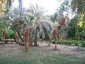 Livistona chinensis, Kitchener Island, Aswan, Egypt.JPG