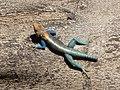 Lizard, Malindi. Малинди, Кения - panoramio.jpg