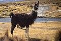 Llama Camelido.jpg