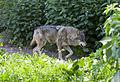 Lobo europeo (Canis lupus lupus), Tierpark Hellabrunn, Múnich, Alemania, 2012-06-17, DD 01.JPG