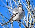 Loggerhead Shrike (25393362197).jpg