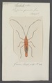 Lohita - Print - Iconographia Zoologica - Special Collections University of Amsterdam - UBAINV0274 040 07 0015.tif