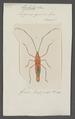 Lohita - Print - Iconographia Zoologica - Special Collections University of Amsterdam - UBAINV0274 040 07 0015.tif