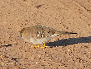 Long-tailed Ground Dove (Uropelia campestris) (29072741940).jpg