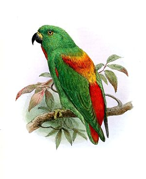 1862 in birding and ornithology -  Sula hanging parrot Proceedings of the Zoological Society of London 1862