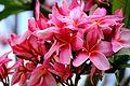 Lovely plumeria flowers (8928913775).jpg