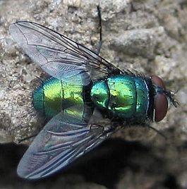 Зелёная падальная муха lucilia sp