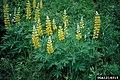 Lupinus sulphureus.jpg