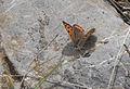 Lycaena phlaeas - Benekli bakırgüzeli 02.jpg