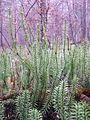 Lycopodium annotinum sl7.jpg