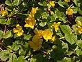 Lysimachia nummularia, 2015-06-10, Fox Chapel, 01.jpg