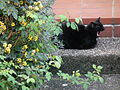 Müde Katze schwarz.JPG