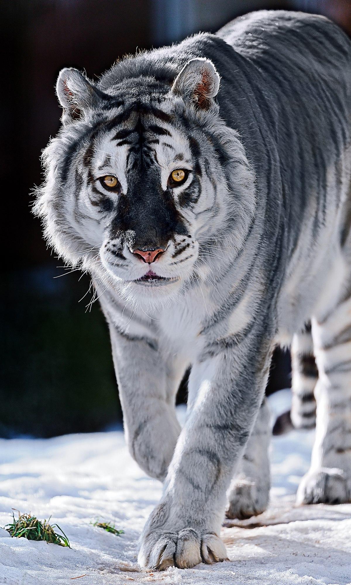 maltese tiger wikipedia