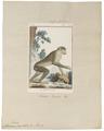 Macacus ecaudatus - 1798-1803 - Print - Iconographia Zoologica - Special Collections University of Amsterdam - UBA01 IZ20000059.tif