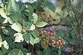Macchiabjörnbär (Rubus ulmifolius)-1374 - Flickr - Ragnhild & Neil Crawford.jpg