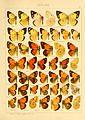 Macrolepidoptera01seitz 0059.jpg