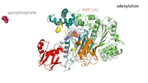 File:Macromolecular-juggling-by-ubiquitylation-enzymes-1741-7007-11-65-S1.ogv