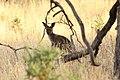 Macropus fuliginosus (32623082846).jpg
