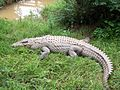 Madagascar, crocodiles.jpg