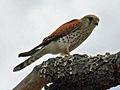 Madagascar Kestrel RWD.jpg