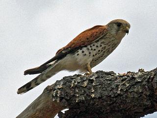 Malagasy kestrel species of bird