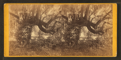 Magnolia Cemetery. Oak and moss, by Quinby & Co..png