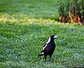 Magpie at Ballarat Botanical Garden.jpg
