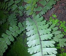 Maidenhair 65875.jpeg