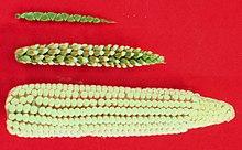 https://upload.wikimedia.org/wikipedia/commons/thumb/c/cb/Maize-teosinte.jpg/220px-Maize-teosinte.jpg