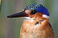 Malachite Kingfisher, Alcedo cristata at Marievale Nature Reserve, Gauteng, South Africa (25792003752).jpg