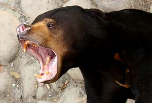 Sun bear - A sun bear in Shanghai Zoo showing its powerful jaws