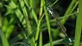 Male Common Bluetail (17273309791).jpg