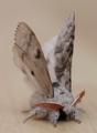 Male pale tussock moth - calliteara pudibunda (41468624445).png