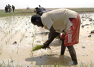 Economy of Mali - Rice planting in Mali.