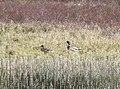 Mallard on Loch Moraig N - geograph.org.uk - 767599.jpg