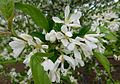 Malus baccata jackii flowers.jpg