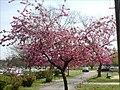 Malus cultivar in the spring.jpg
