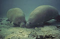 Manatee rooting in sand.jpg