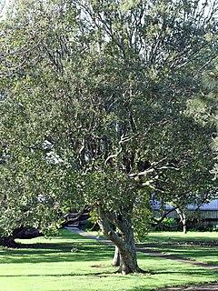 <i>Litsea calicaris</i> Species of tree
