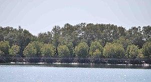 Mangroves along Karachi Coast